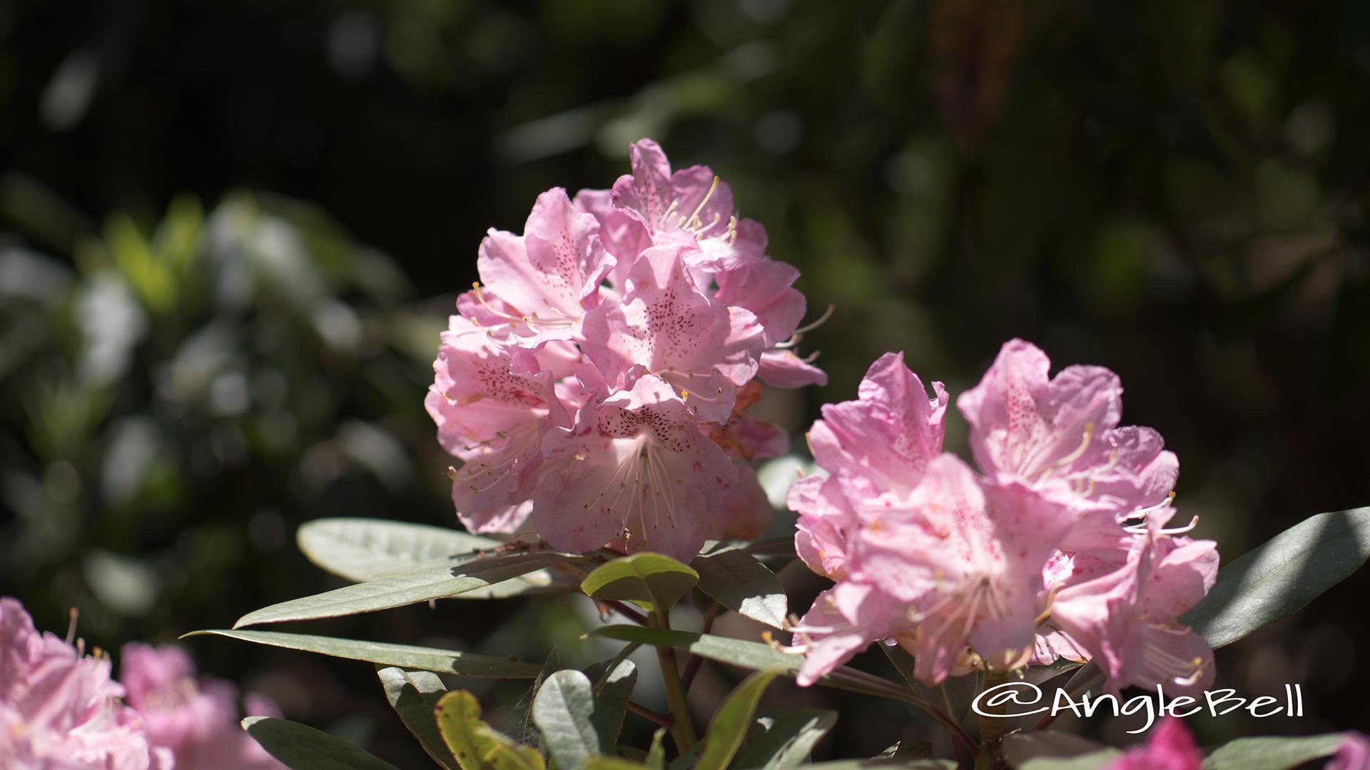 チェリー・ブロッサム (石楠花) Flower Photo2
