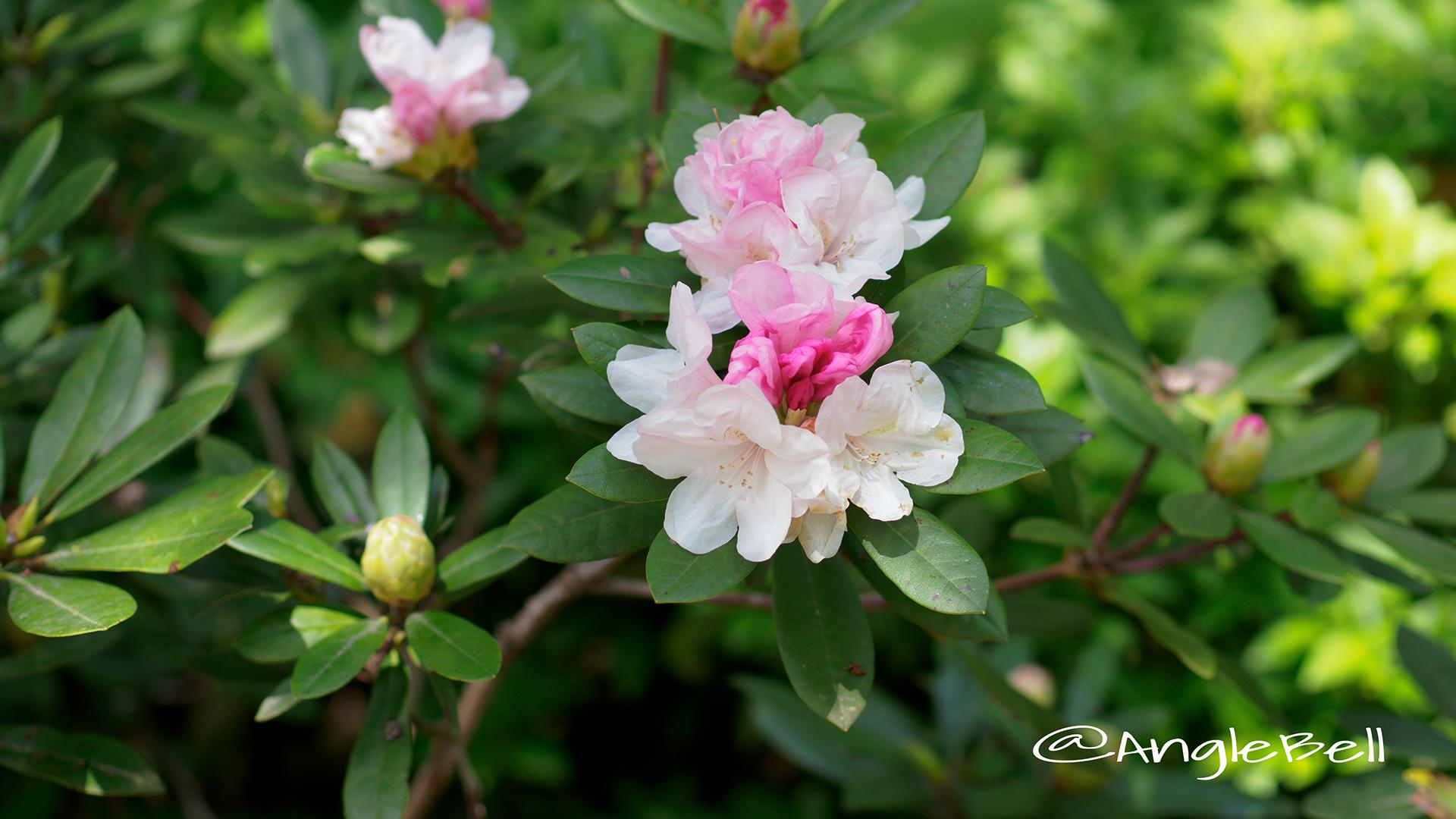 オクハヤデ 奥早出 (石楠花) Flower Photo2