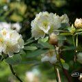 フィリスコーン (石楠花) Flower Photo1