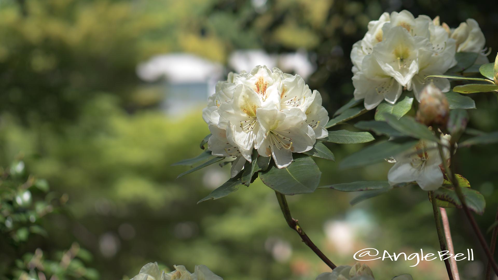 フィリスコーン (石楠花) Flower Photo2