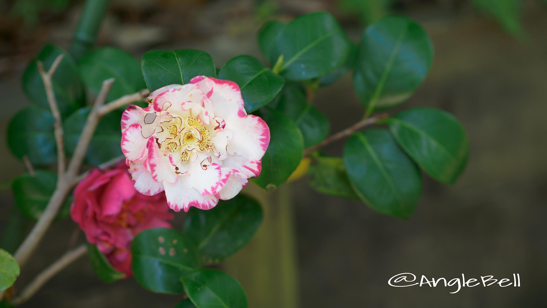 マーガレット・デービス Flower Photo2