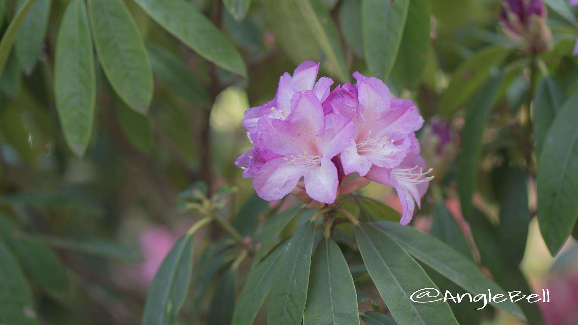 キフジン 貴婦人 (石楠花) Flower Photo2