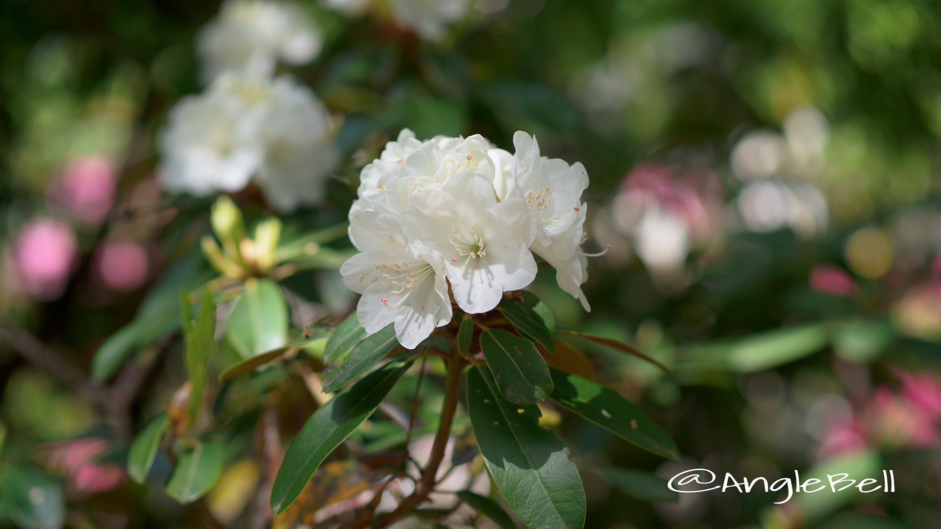 ハツユキ 初雪 (石楠花) Flower Photo2