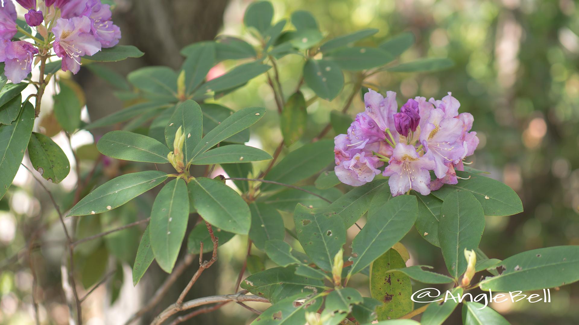 マイムスメ 舞娘 (石楠花) Flower Photo2