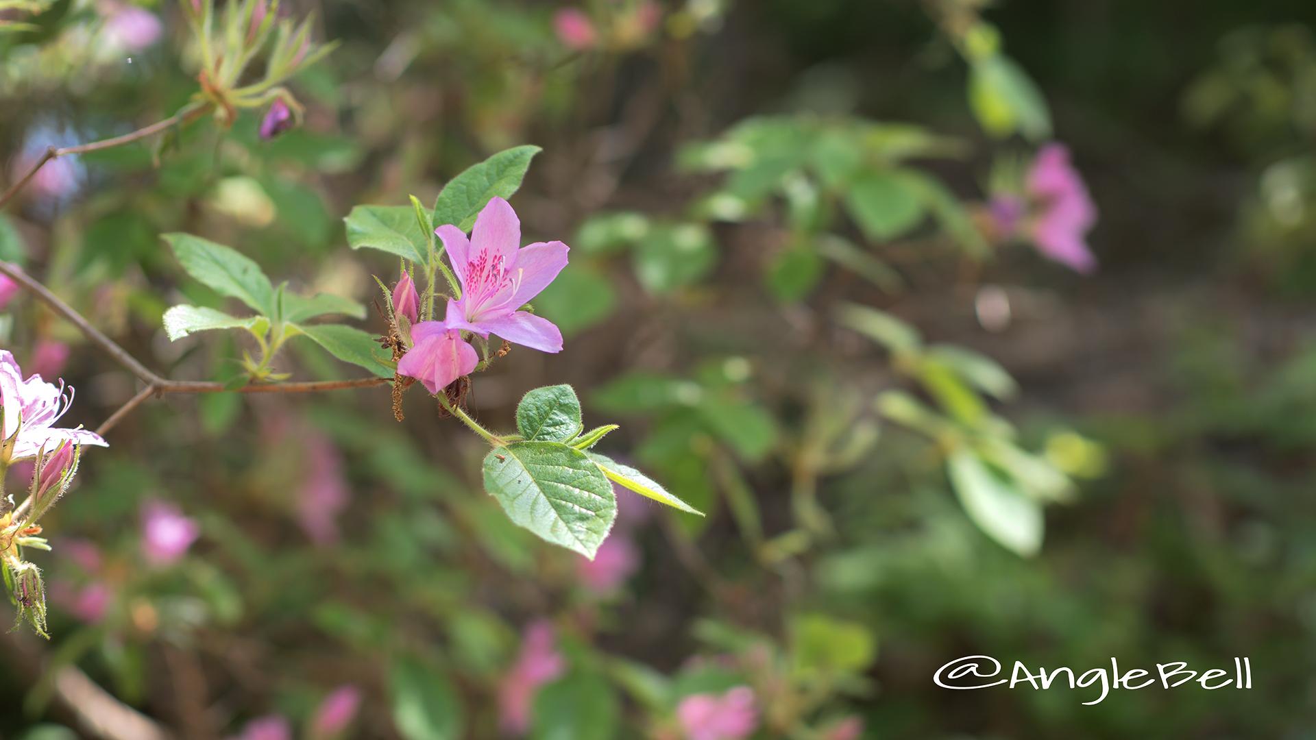 モチツツジ 黐躑躅 Flower Photo2