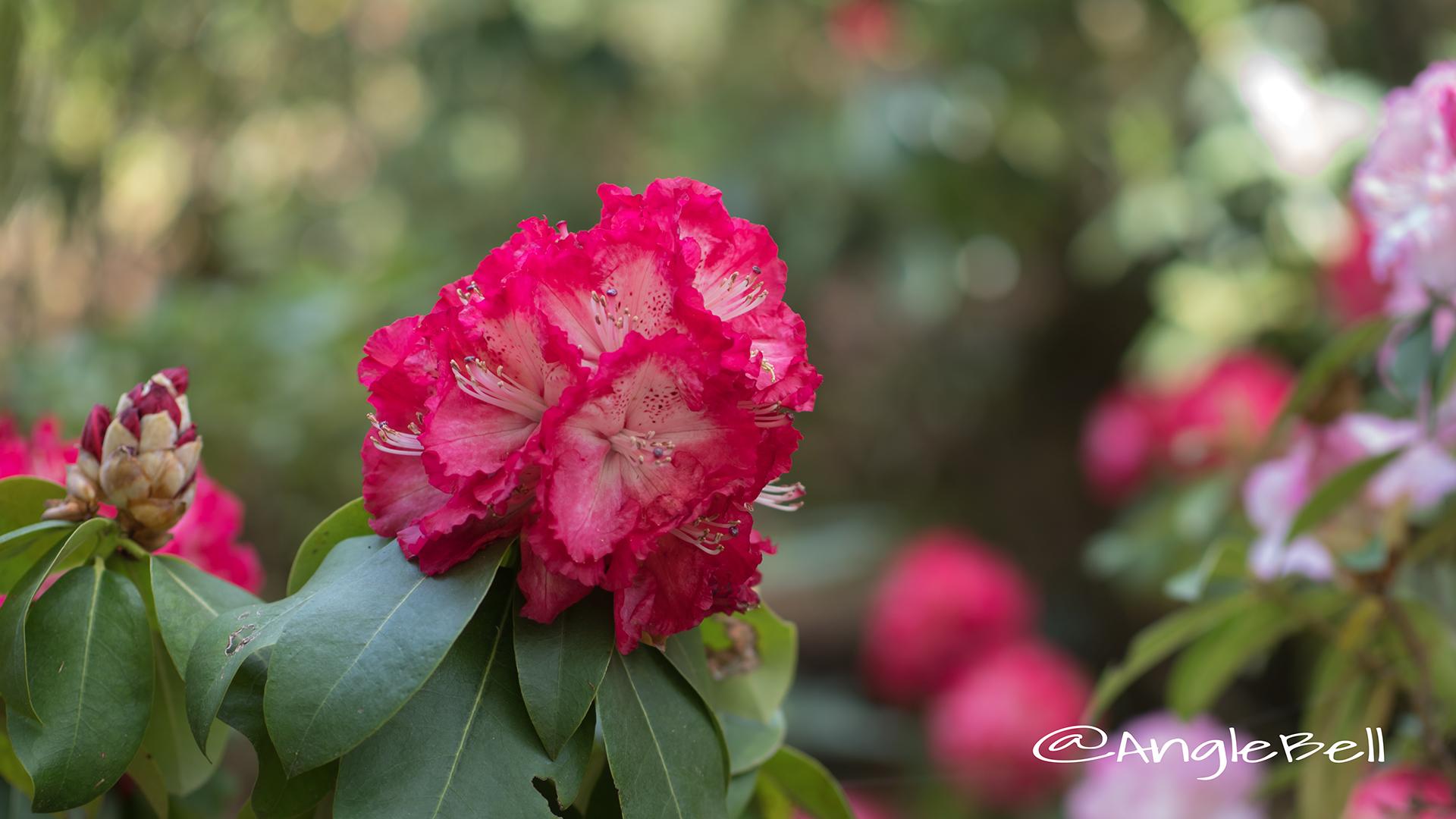 コシノホノオ 越の炎 (石楠花) Flower Photo2