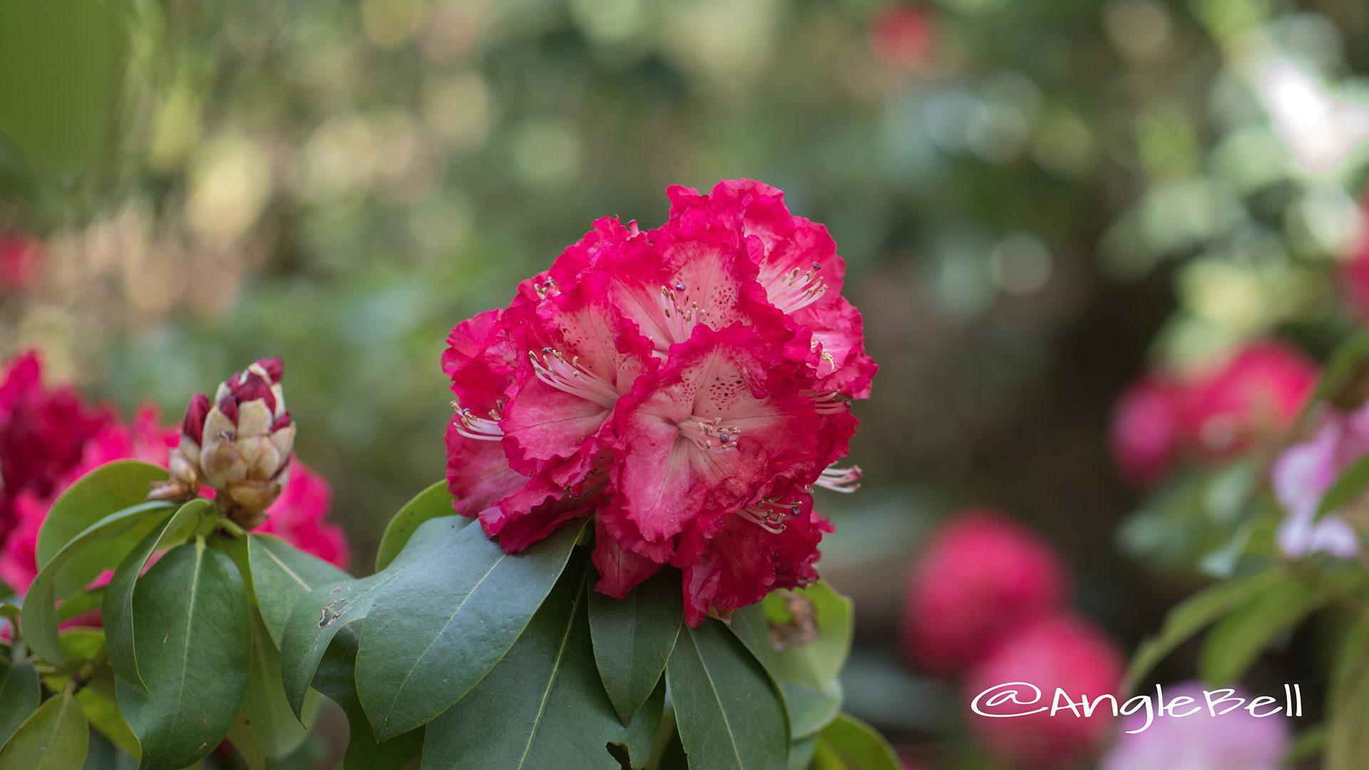 コシノホノオ 越の炎 (石楠花)