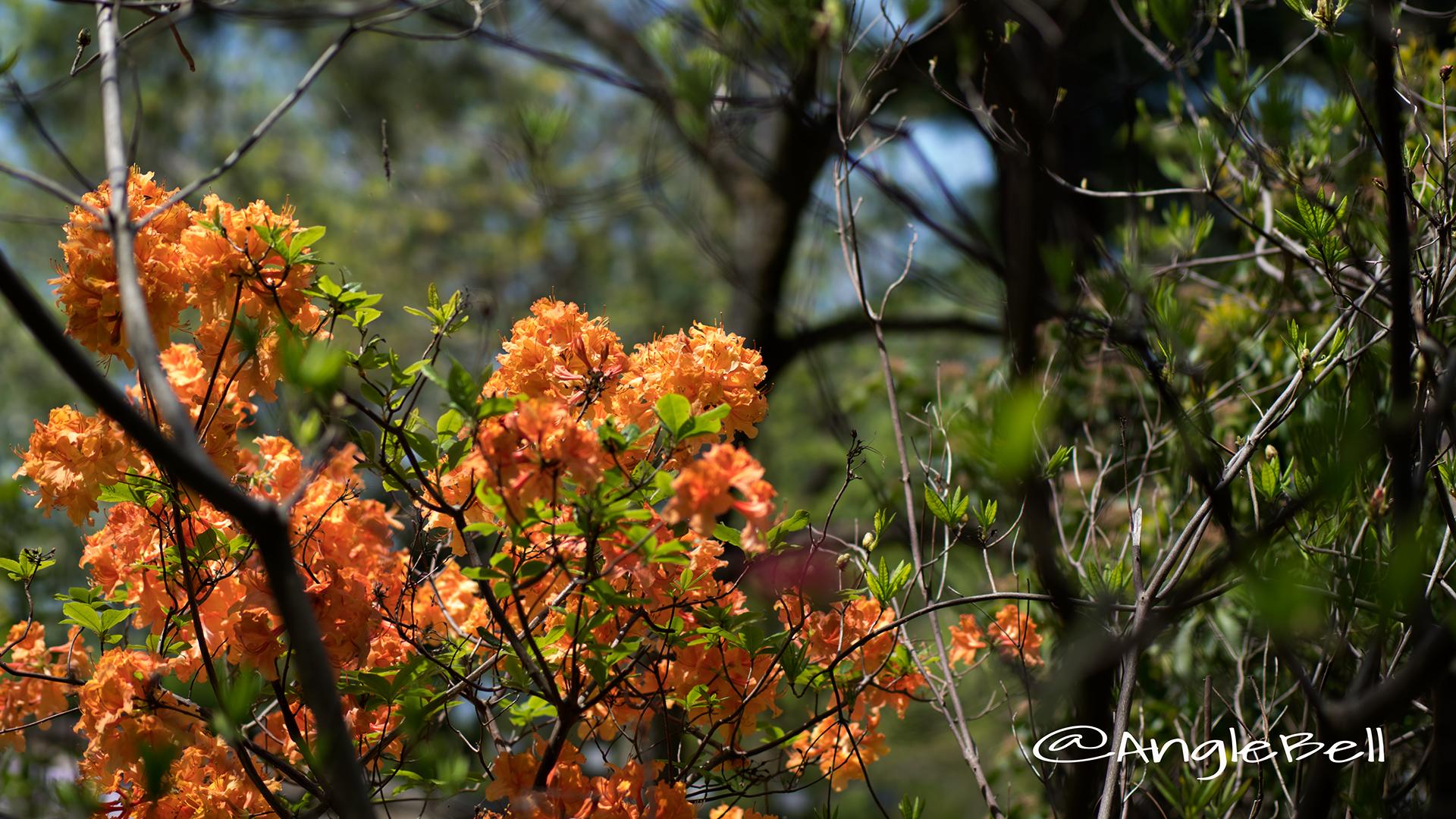 エクスバリーアザレア Flower Photo2