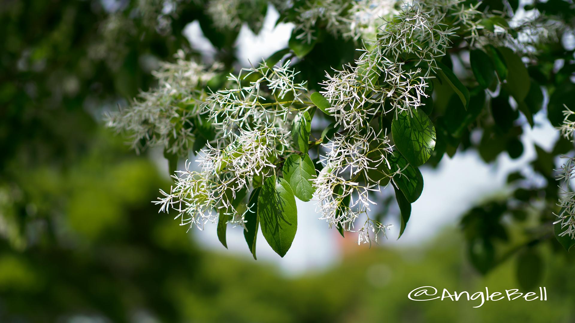 ヒトツバタゴ 一つ葉タゴ Flower Photo4