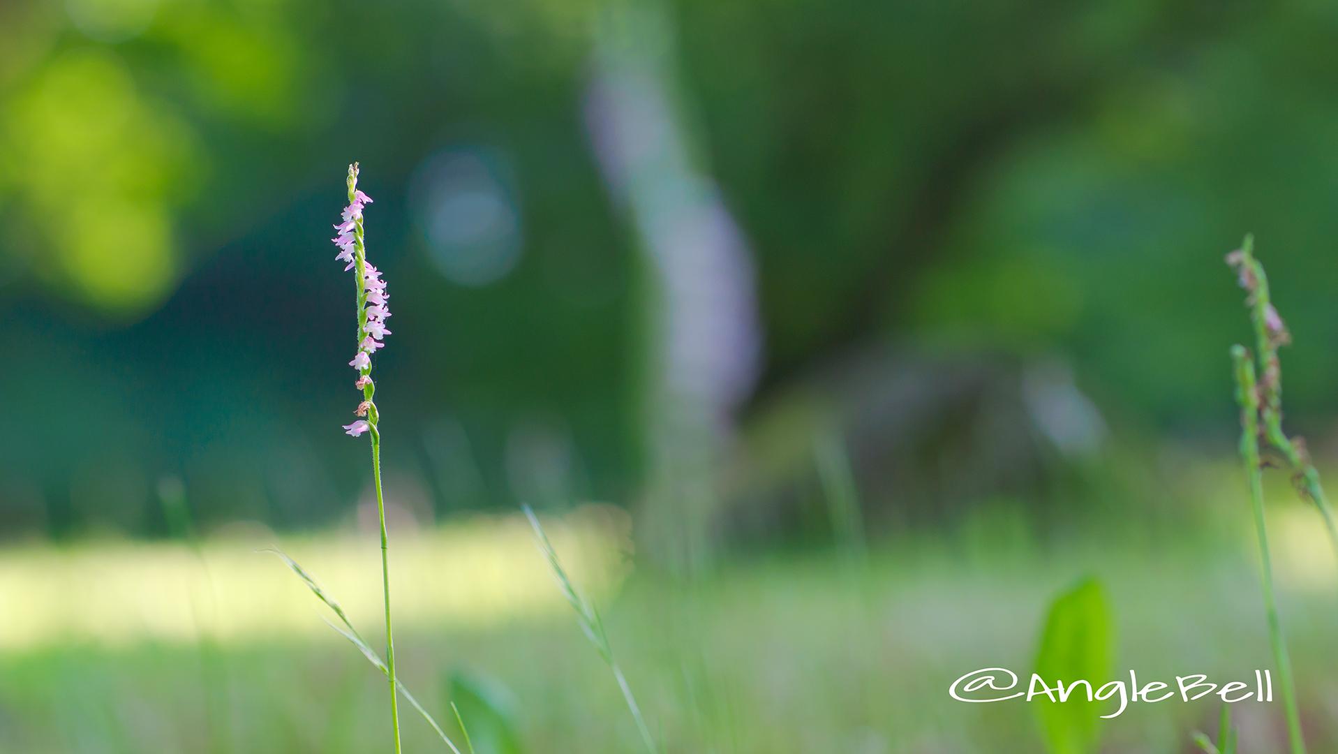 ネジバナ 捩花 Flower Photo5