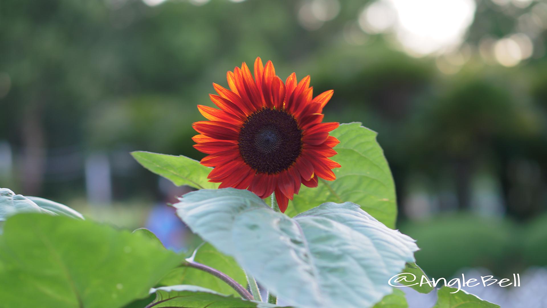 ヒマワリ ブラッドレッド Flower Photo2
