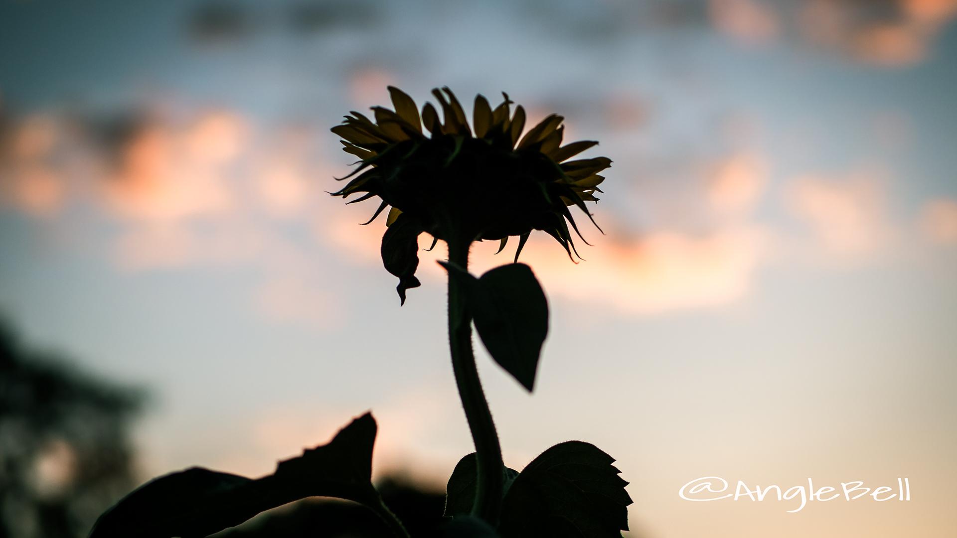 ヒマワリ ビューティフルサン Flower Photo4