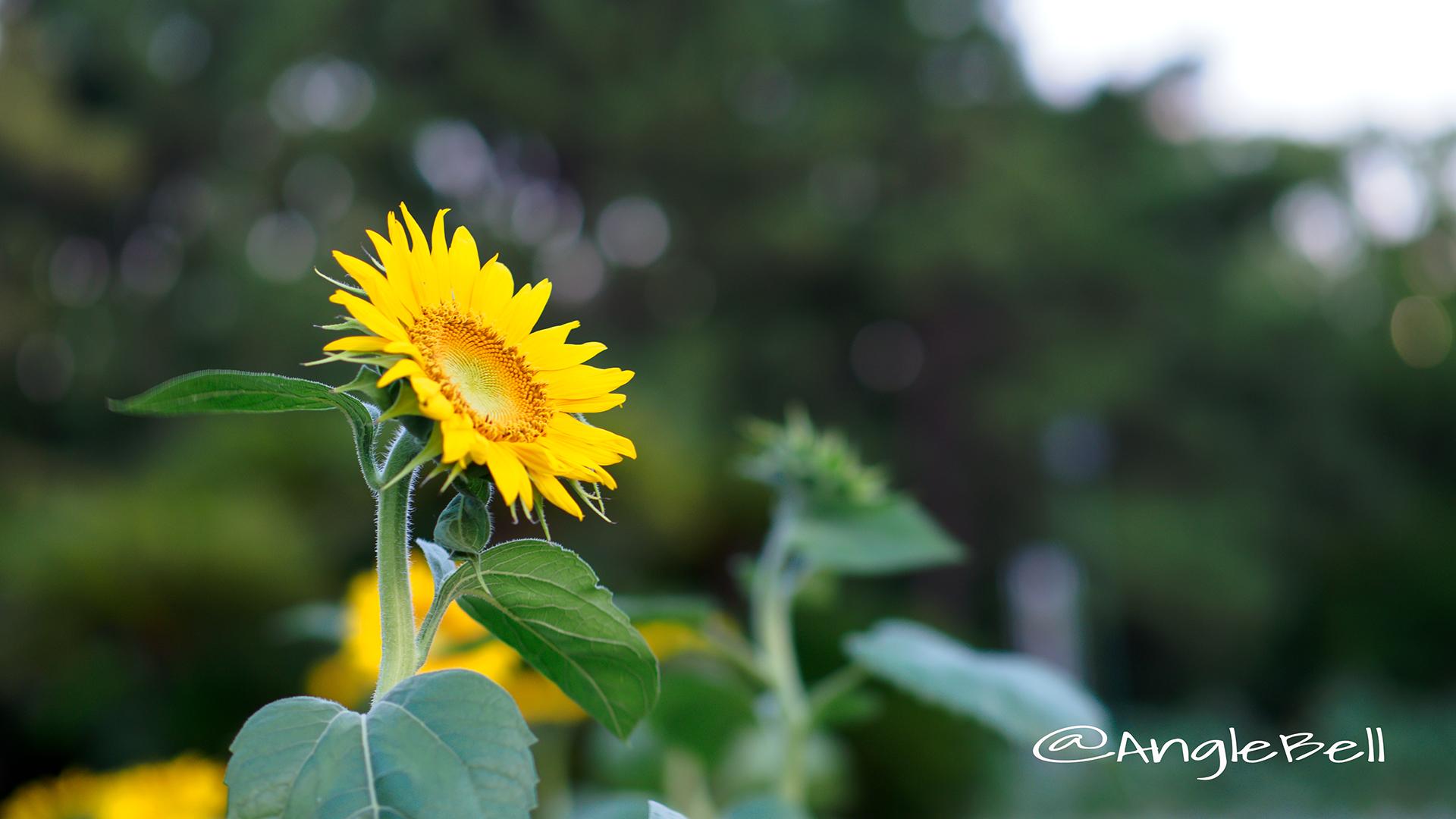 ヒマワリ ビューティフルサン Flower Photo3