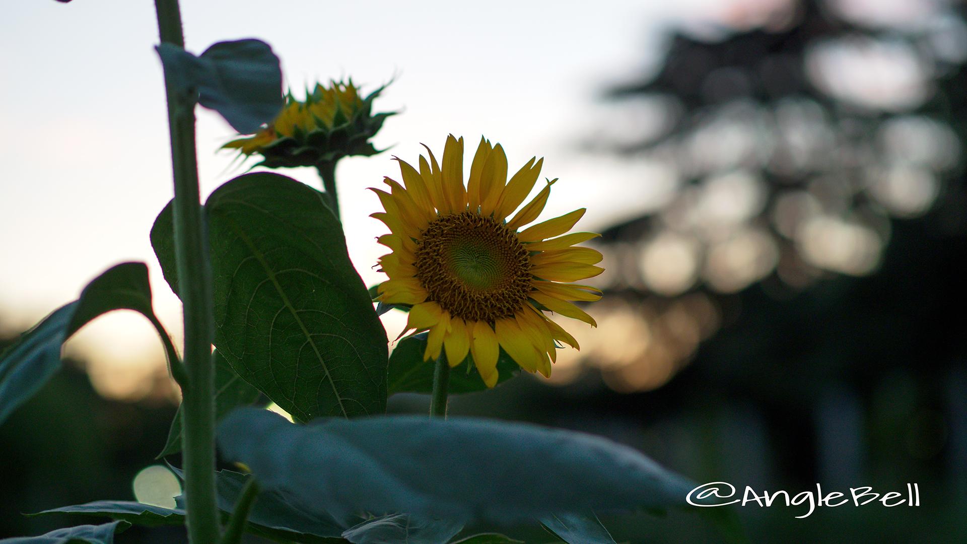 ヒマワリ ビューティフルサン Flower Photo2