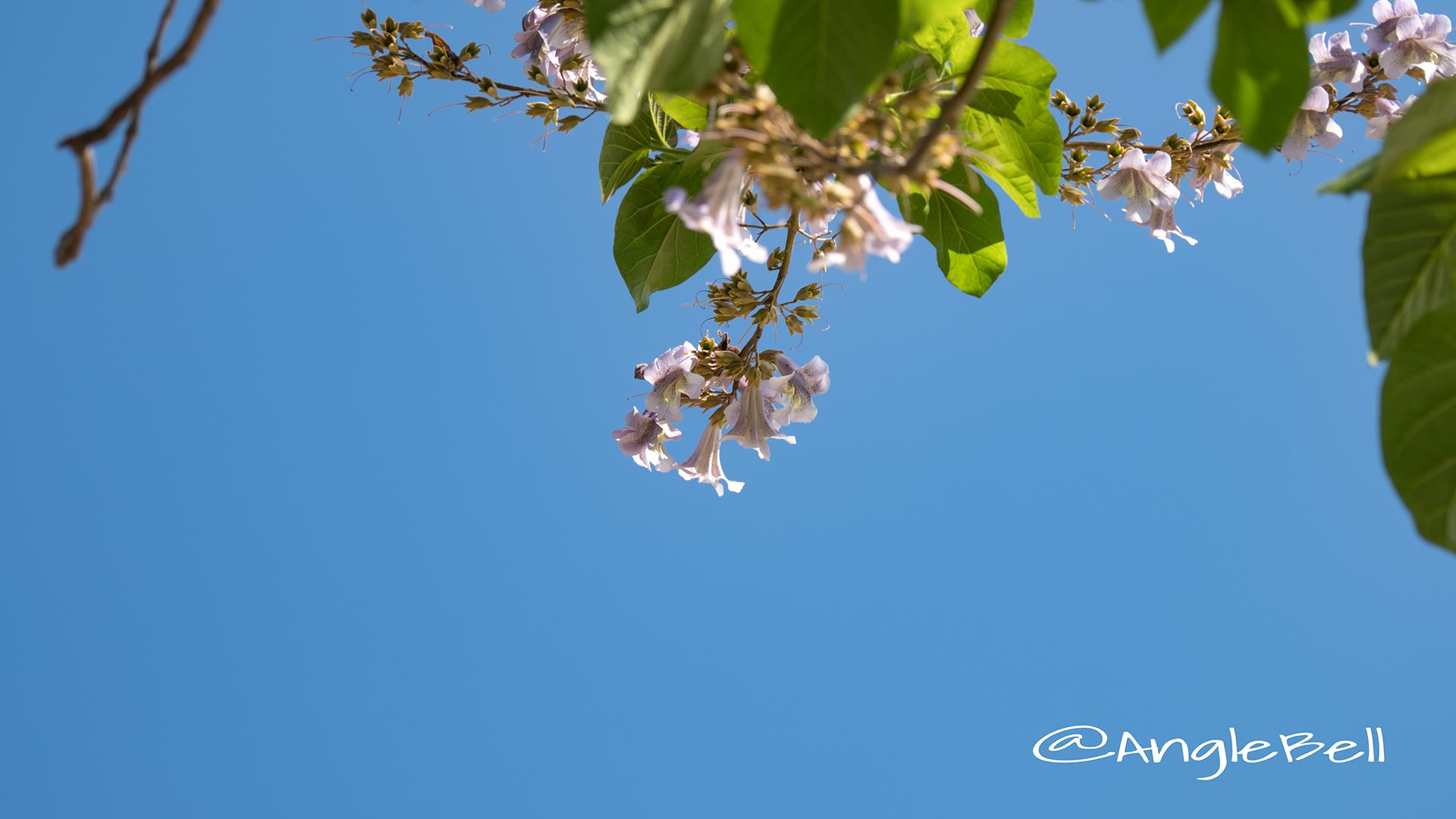 キリ 桐 Flower Photo2