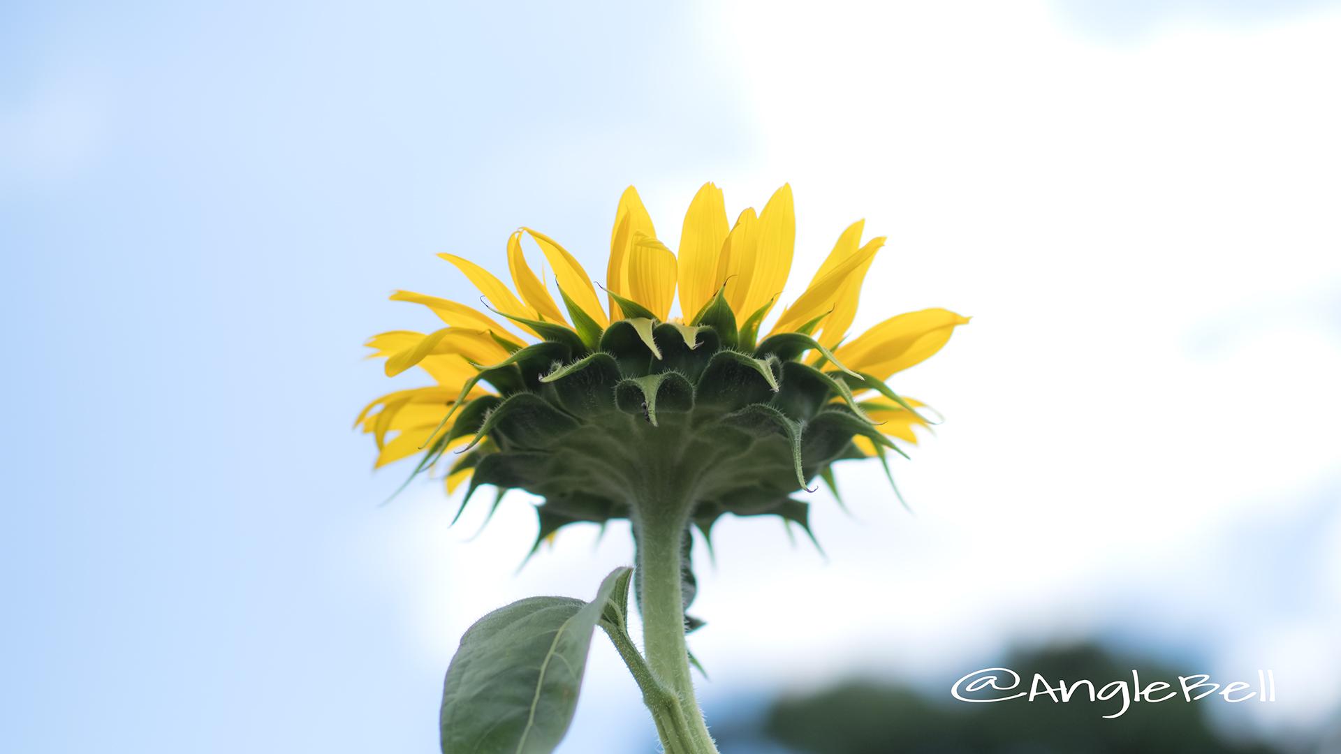 ヒマワリ ビューティフルサン Flower Photo8