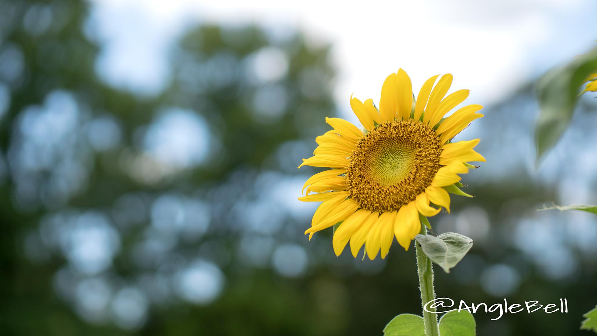 ヒマワリ ビューティフルサン Flower Photo7