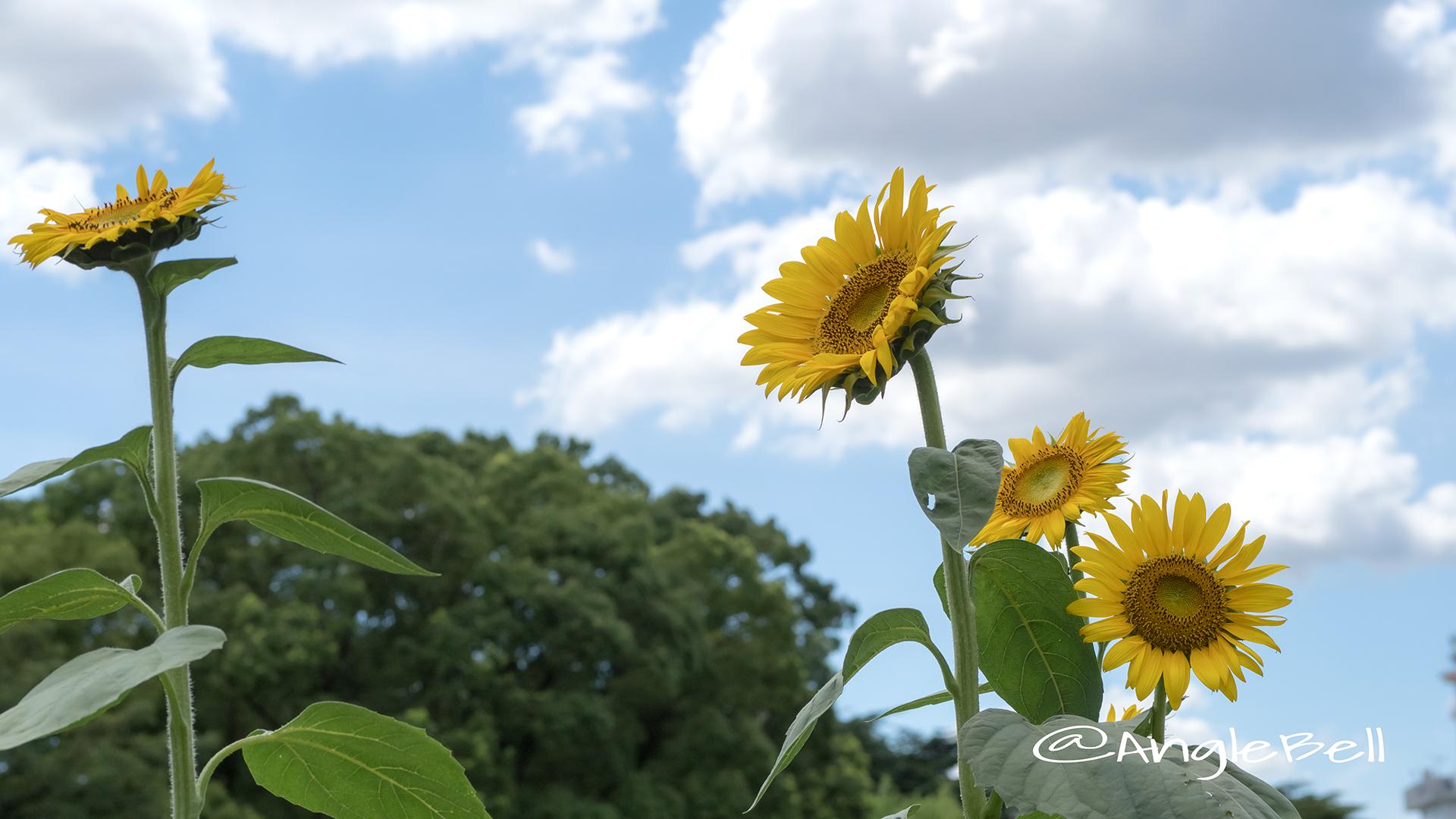 ヒマワリ ビューティフルサン Flower Photo6