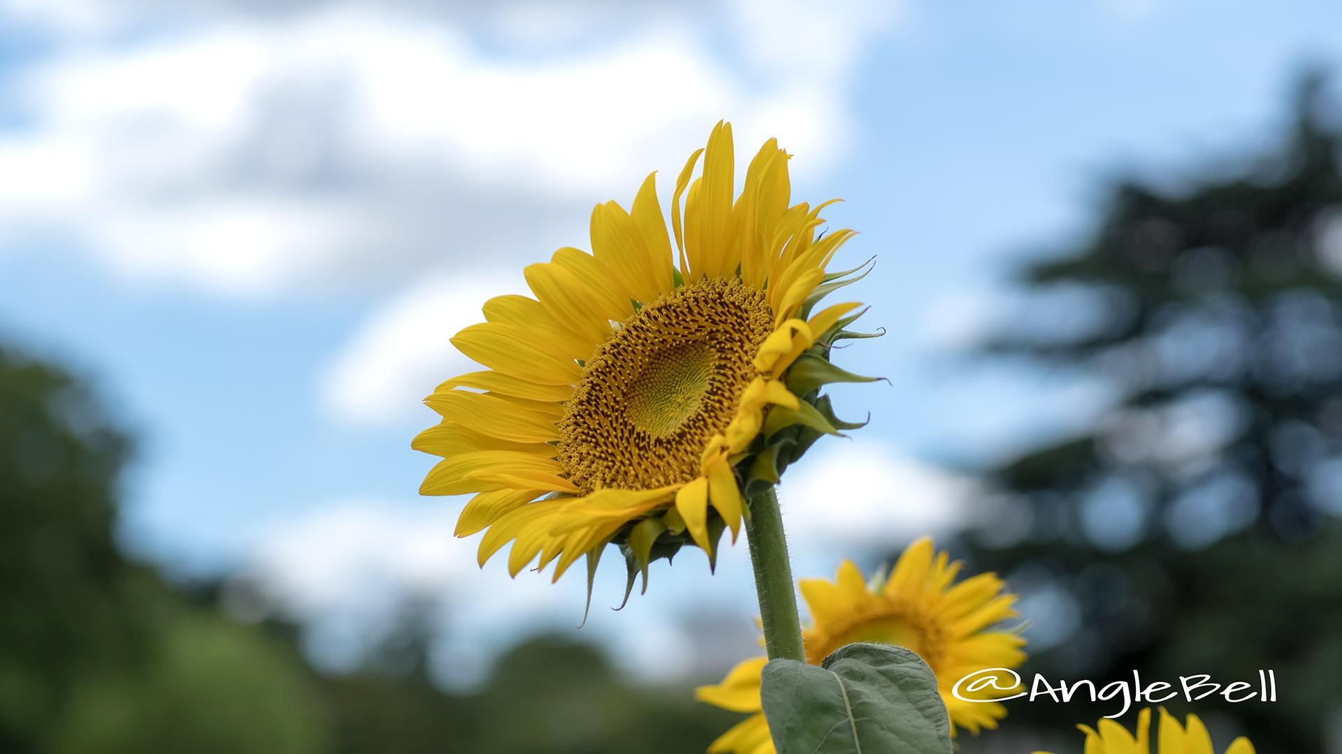ヒマワリ ビューティフルサン Flower Photo9