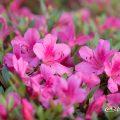 サツキ 皐月 Flower Photo1
