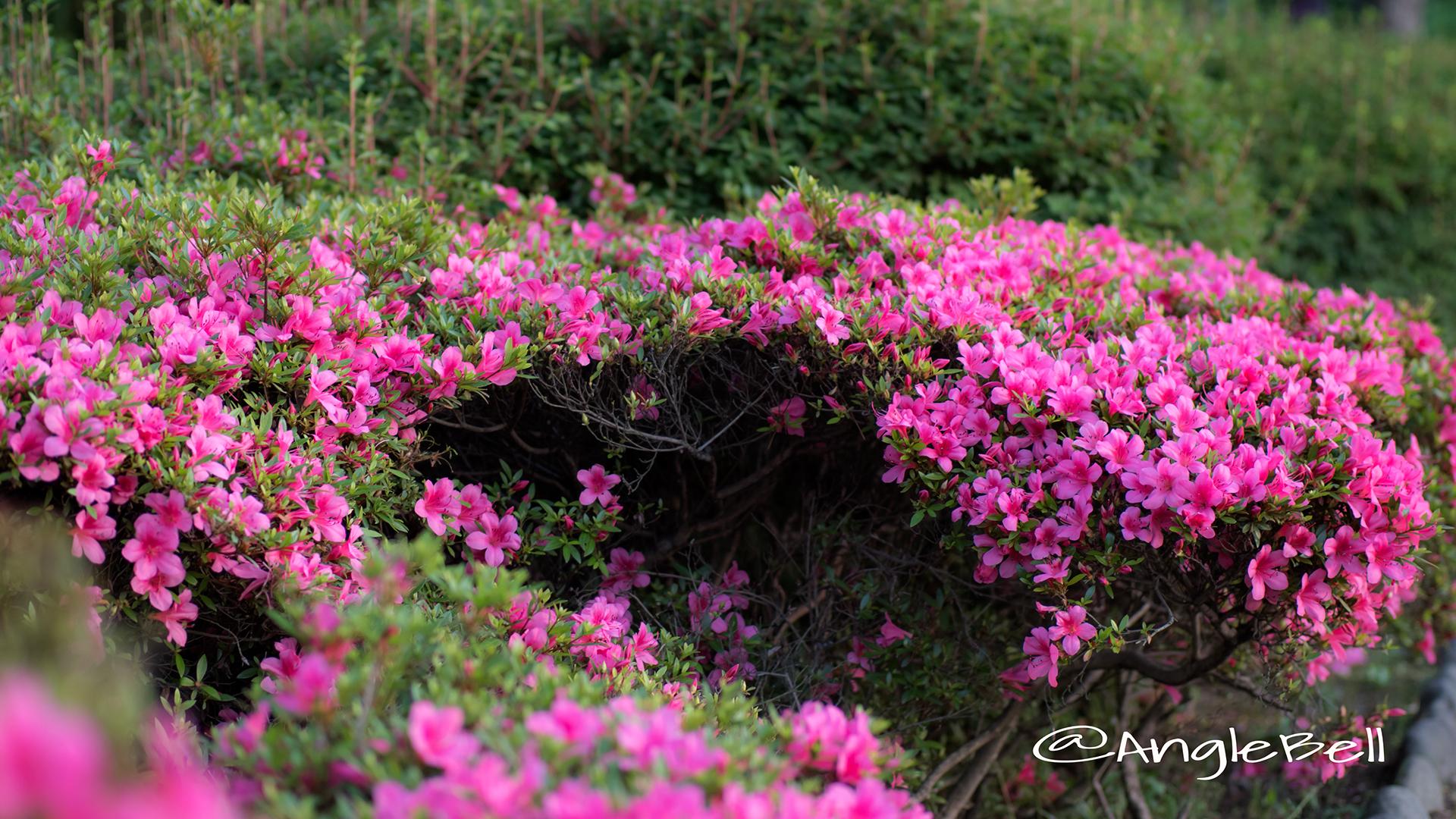 サツキ 皐月 Flower Photo2