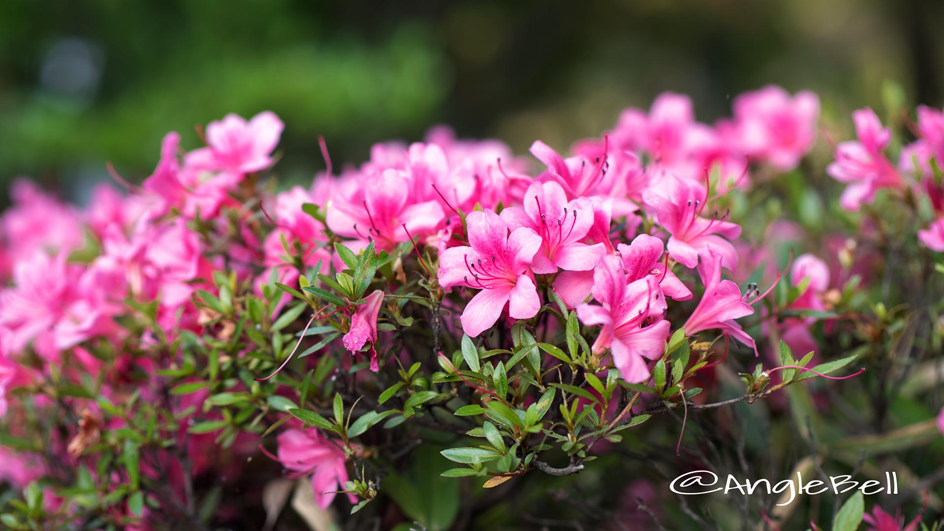 サツキ 皐月 Flower Photo3