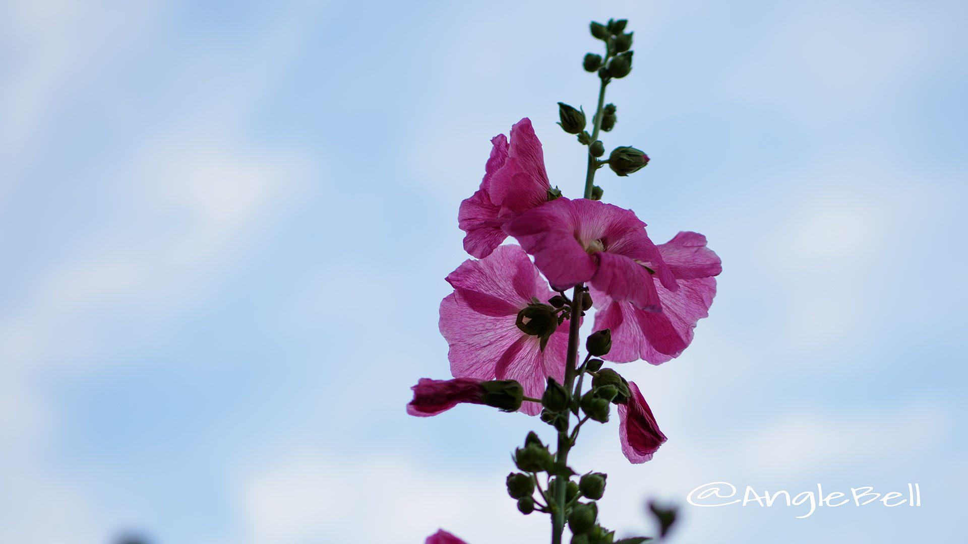 タチアオイ 立葵