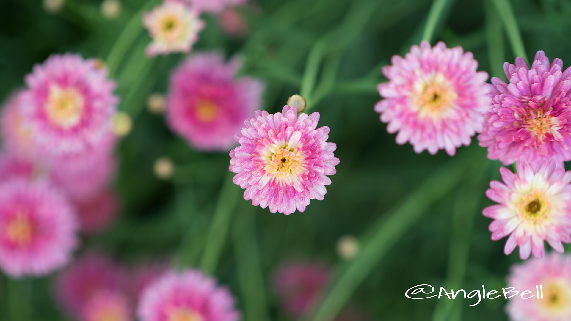 マーガレット ブリリアント ルージュ Flower Photo2