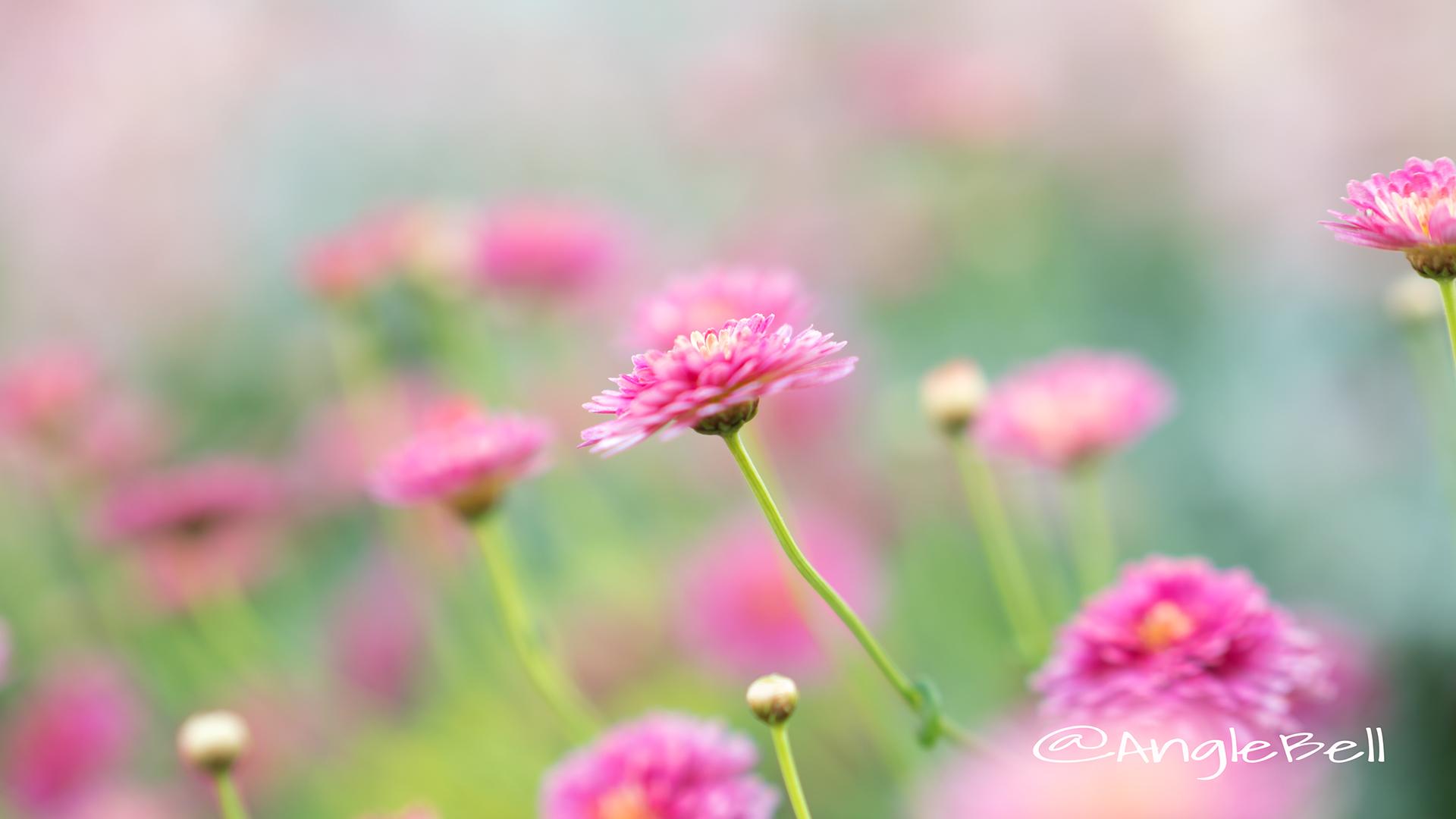 マーガレット ブリリアント ルージュ Flower Photo3