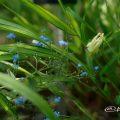セイヨウオダマキ コルベット Flower Photo1