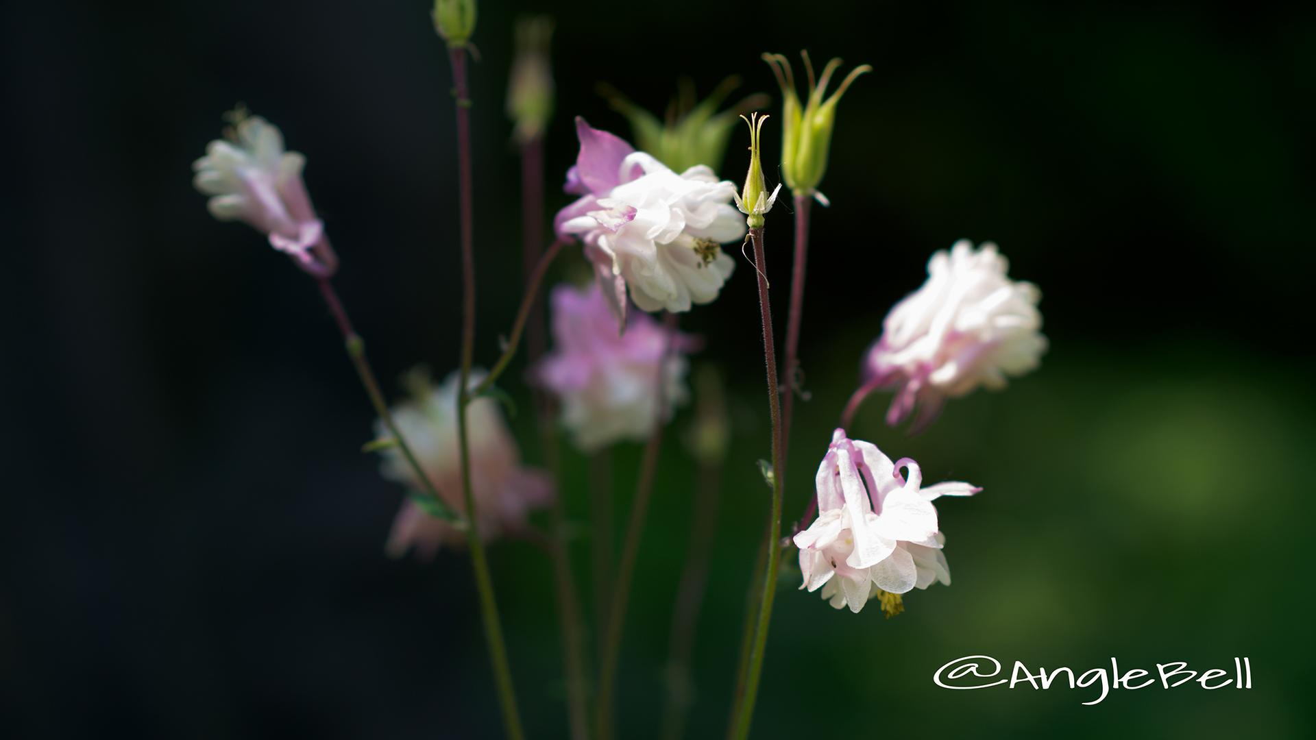 セイヨウオダマキ ピンクランタン Flower Photo2