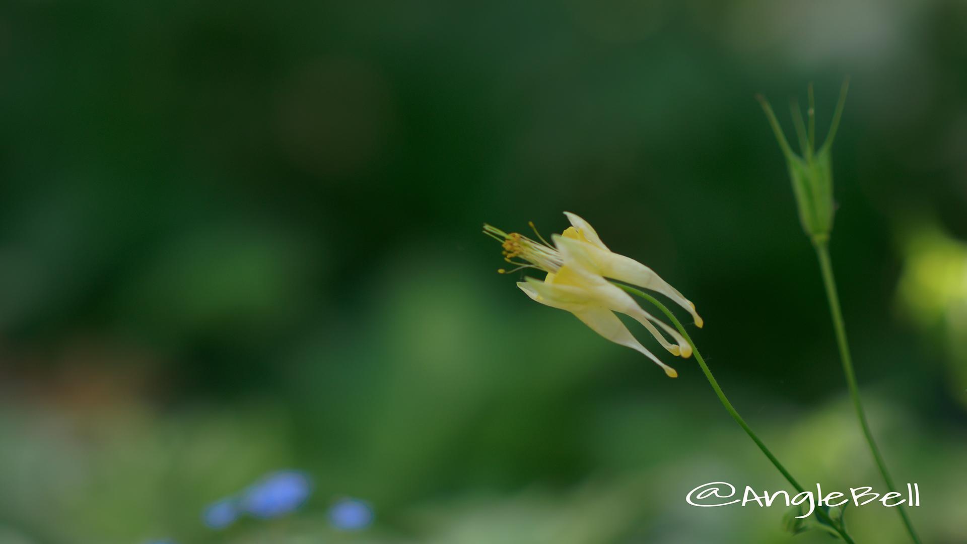 セイヨウオダマキ コルベット Flower Photo3