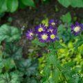 ミヤコワスレ 都忘れ Flower Photo1