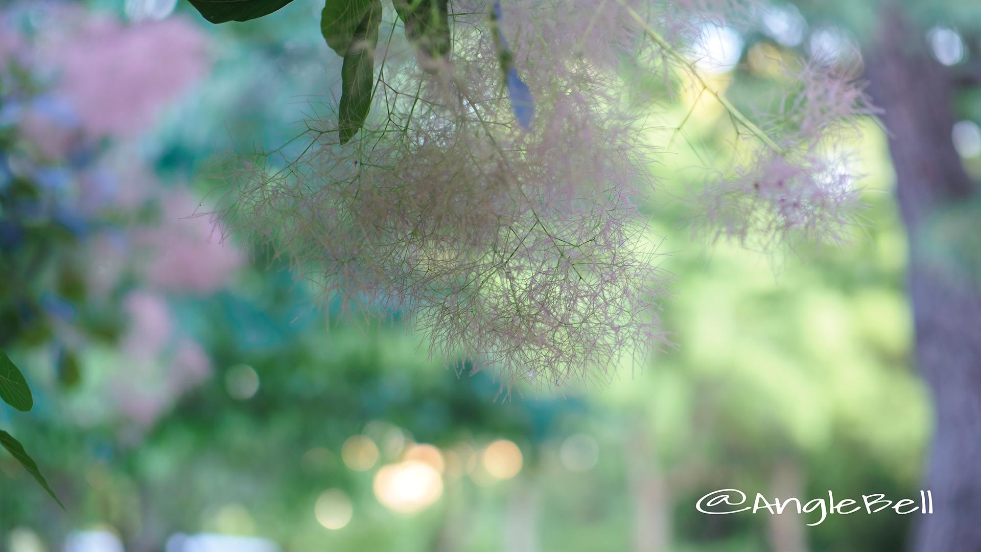 スモークツリーグレース Flower Photo2