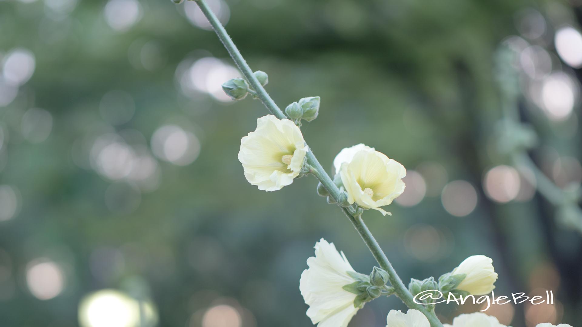 タチアオイ 立葵 Flower Photo4