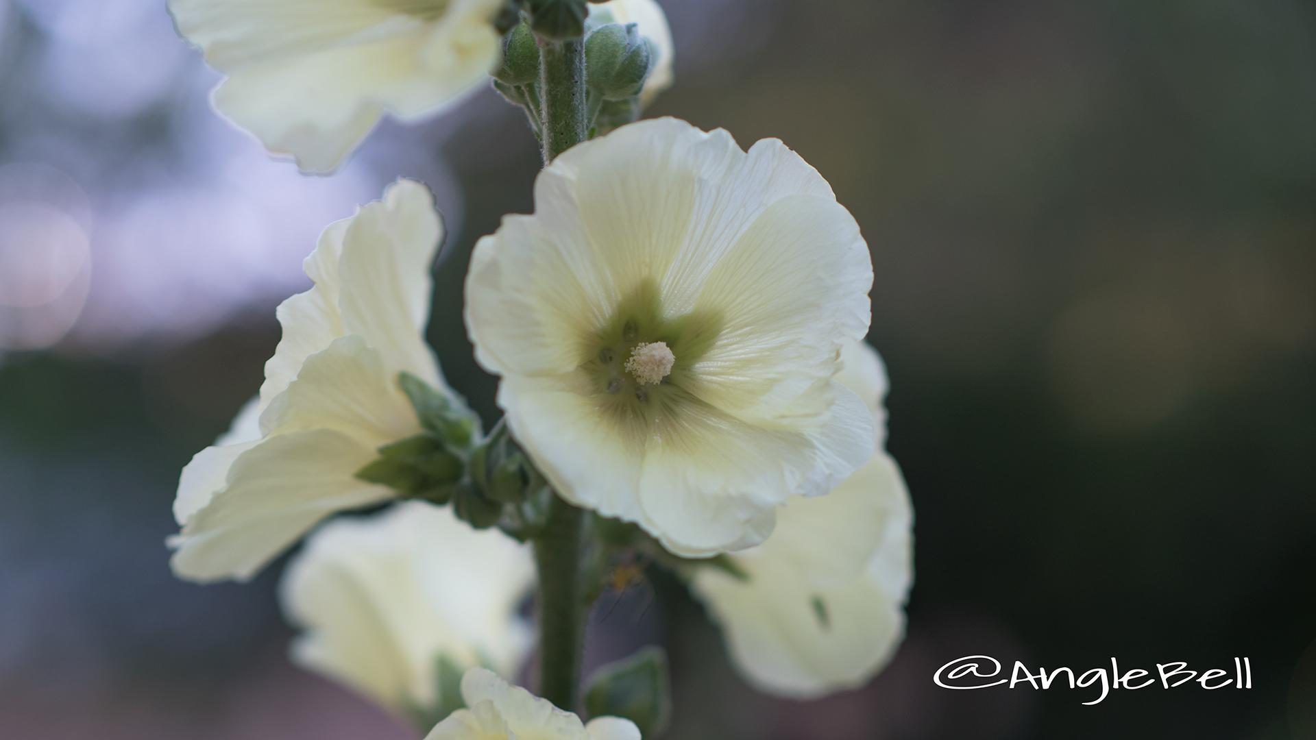 タチアオイ 立葵 Flower Photo5
