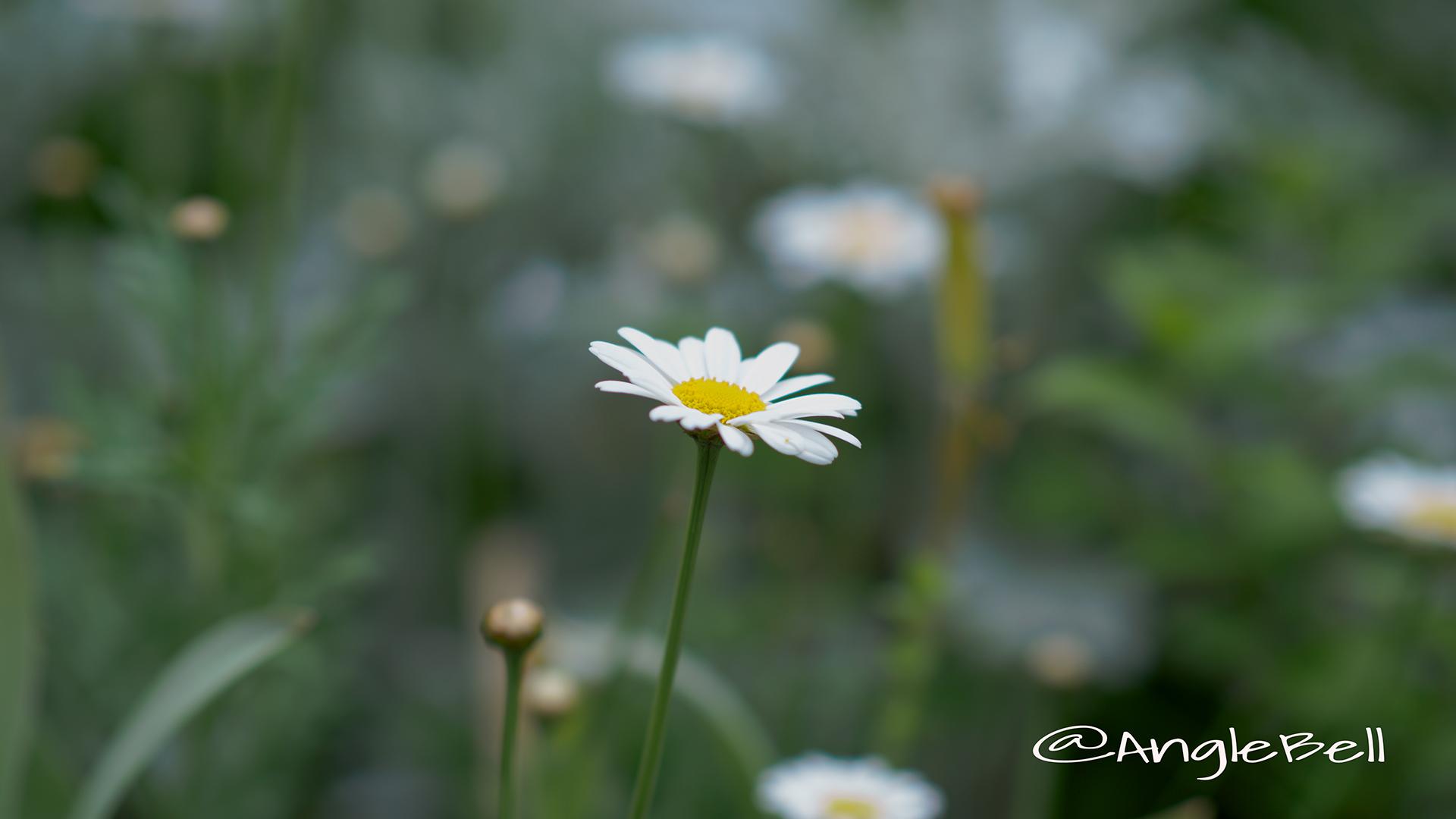 マーガレット Flower Photo2