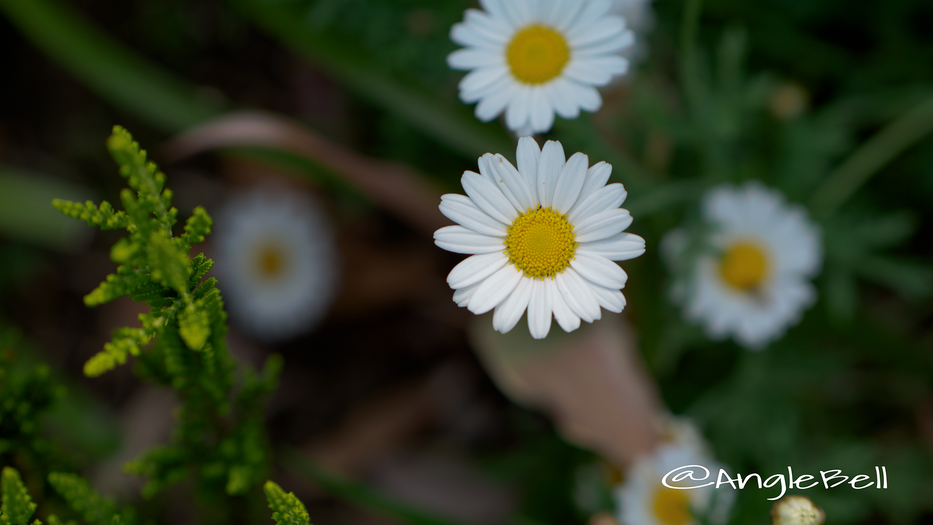 マーガレット Flower Photo3