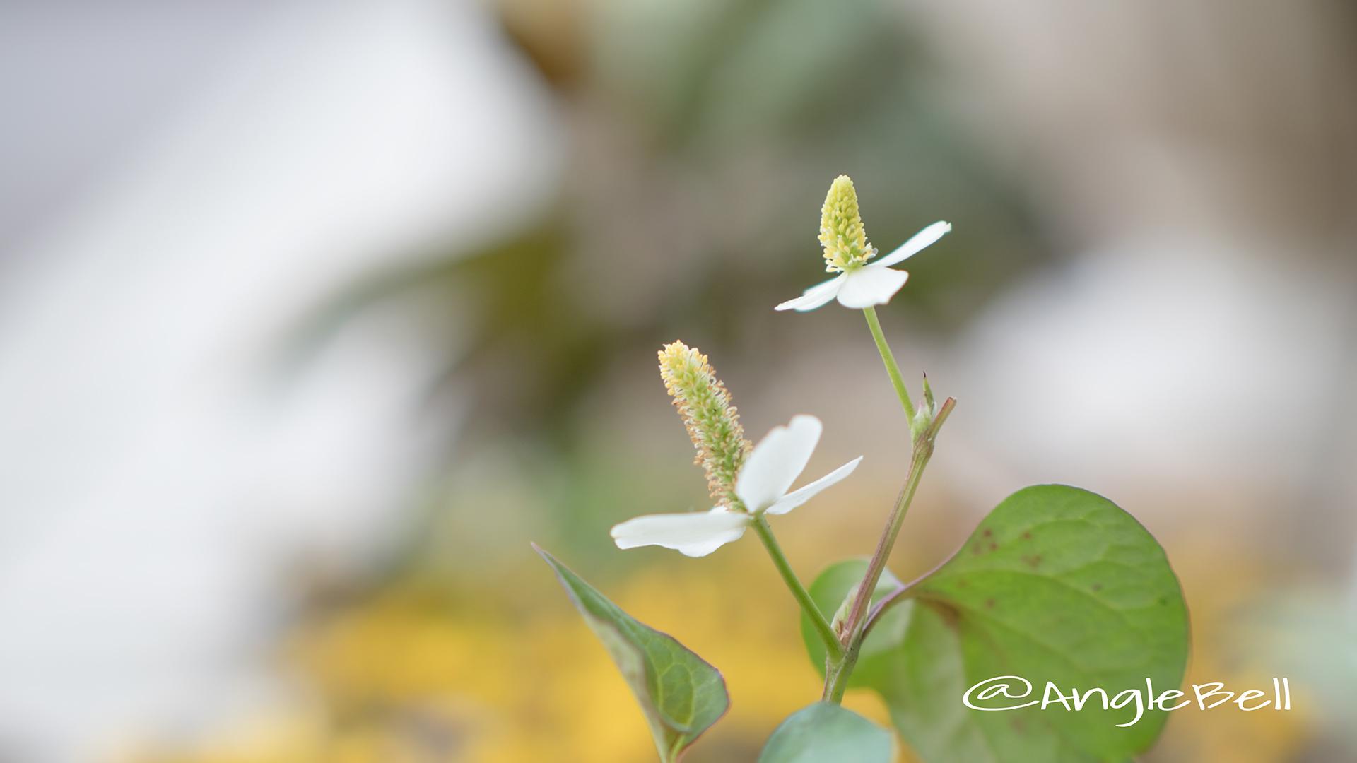 ドクダミ Flower Photo2
