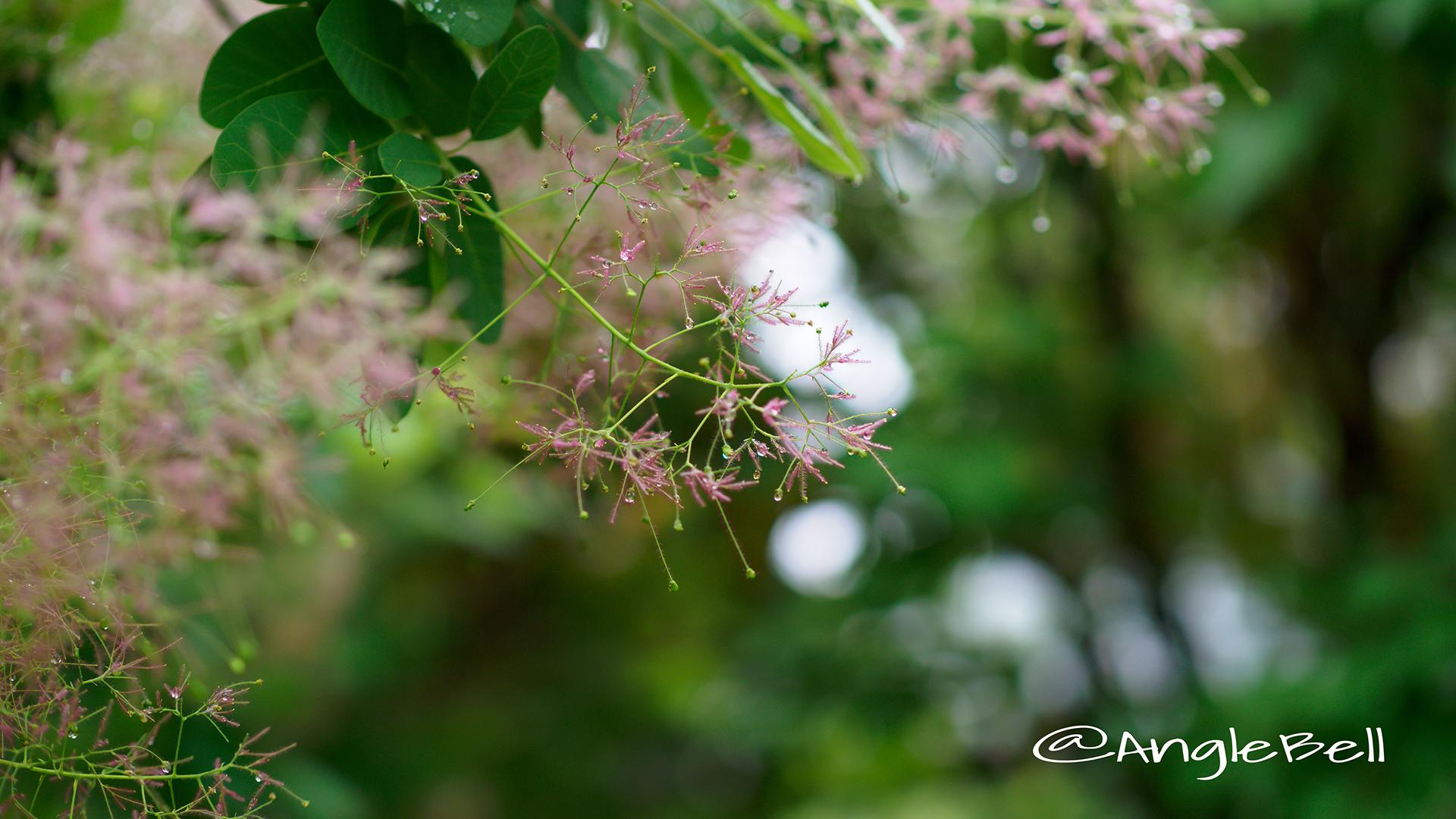 スモークツリーヤングレディー Flower Photo5