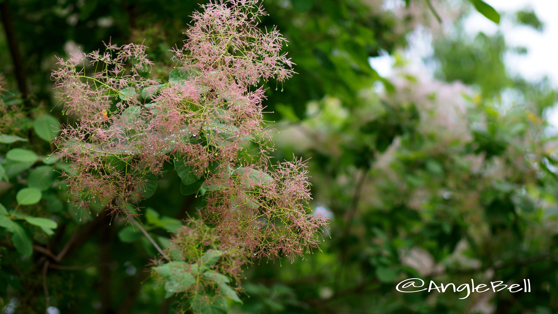 スモークツリーヤングレディー Flower Photo3