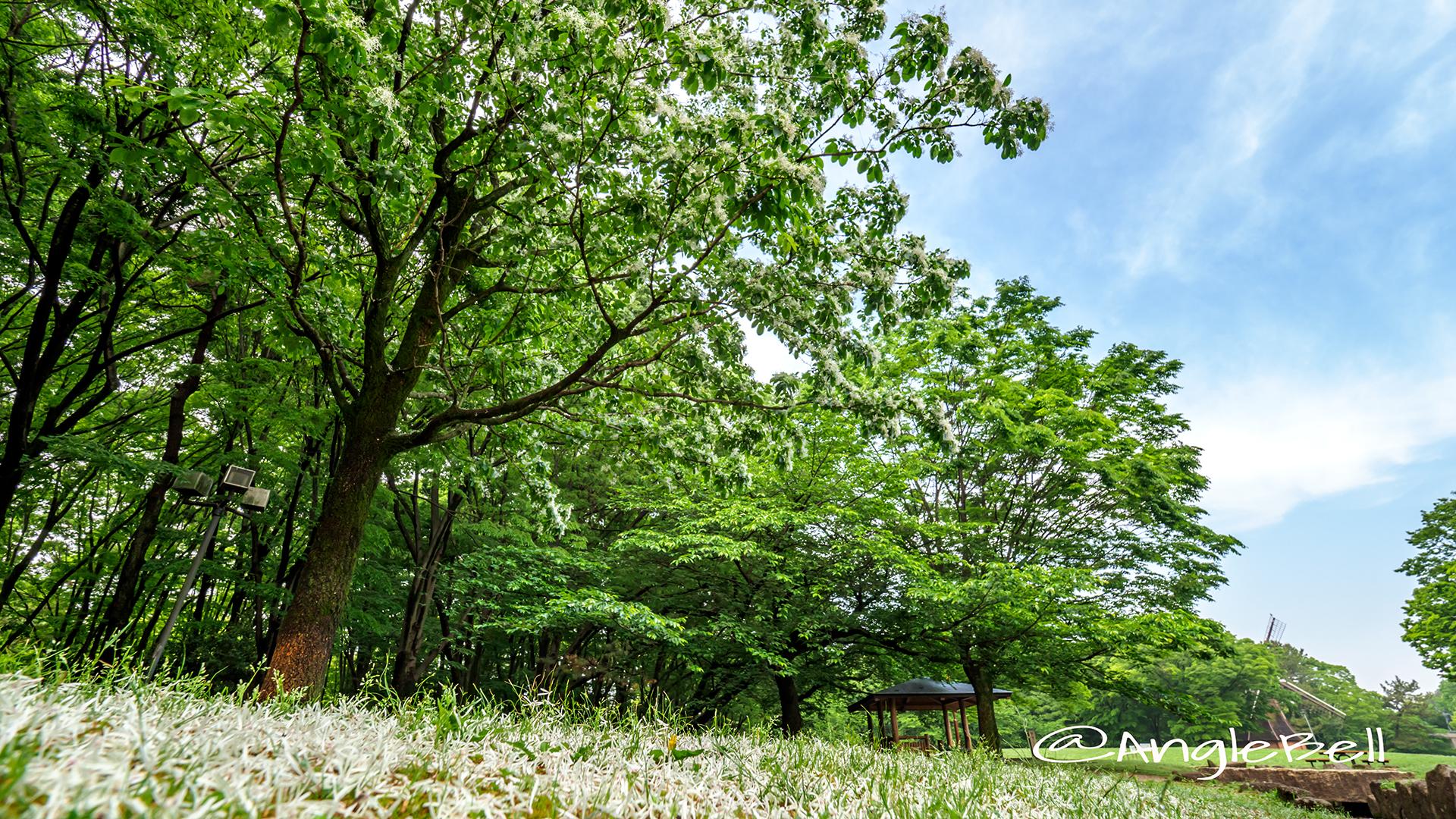 ヒトツバタゴ 一つ葉タゴ Flower Photo5