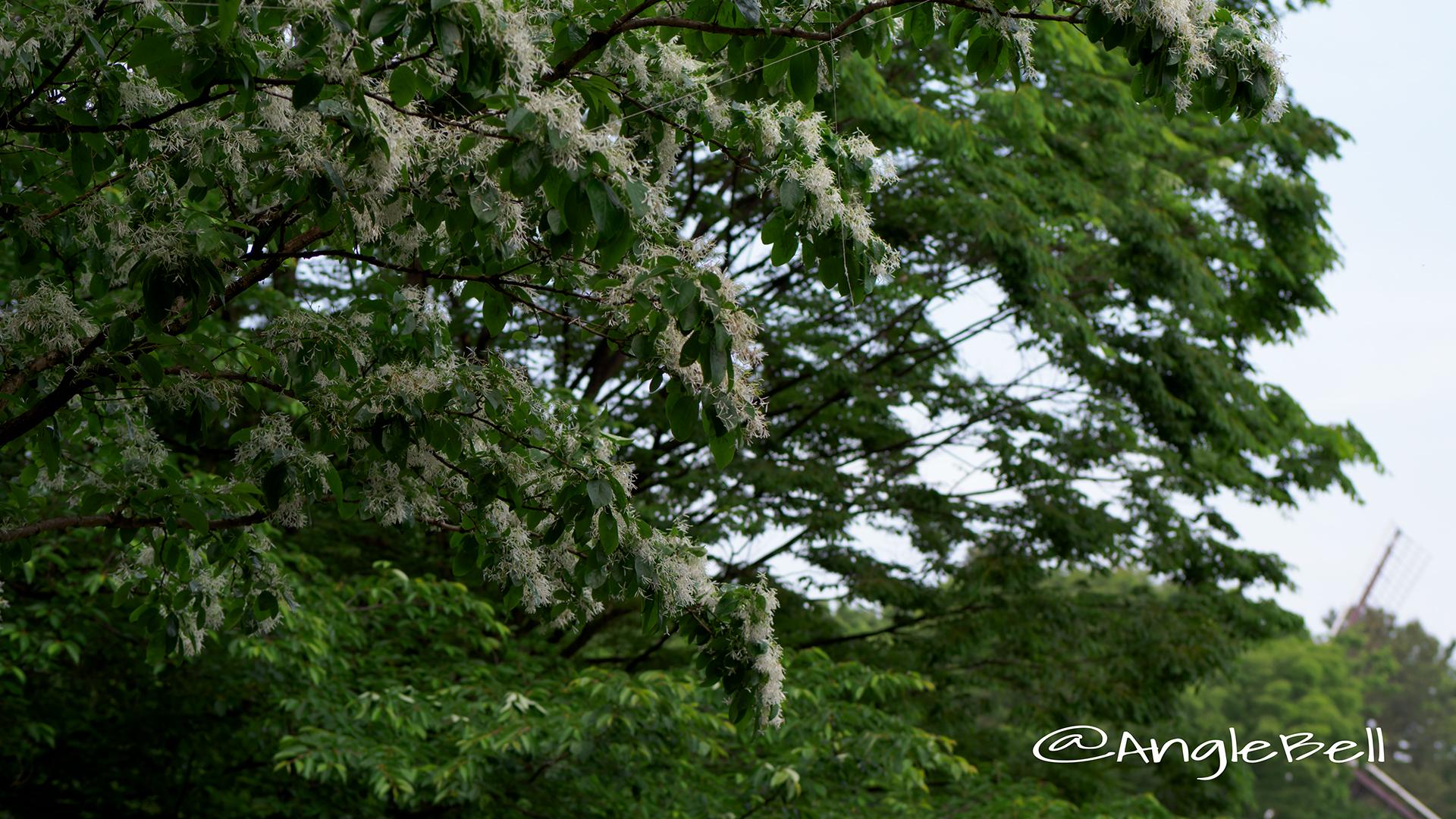 ヒトツバタゴ 一つ葉タゴ Flower Photo2