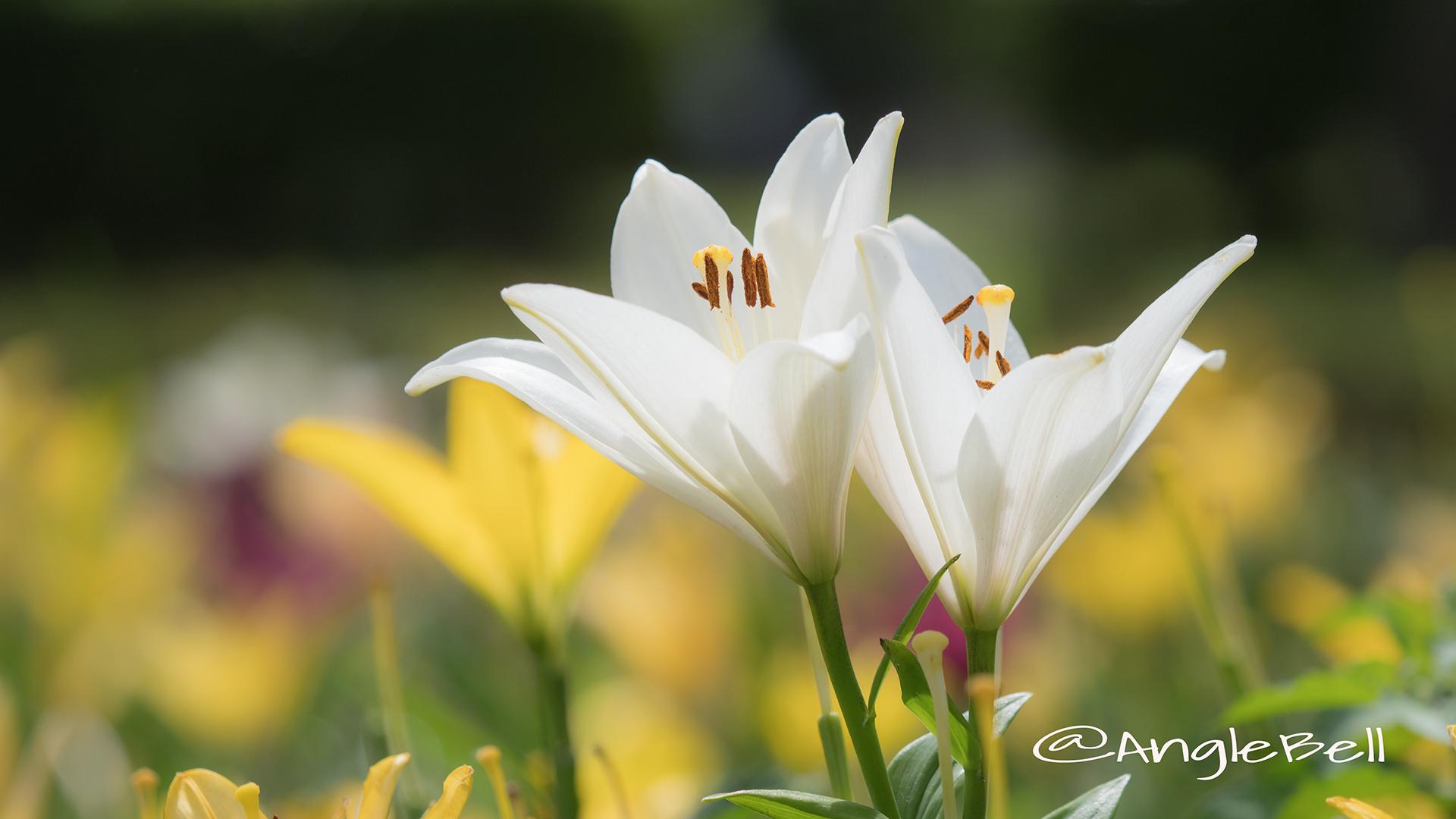ユリ 百合 Flower Photo3