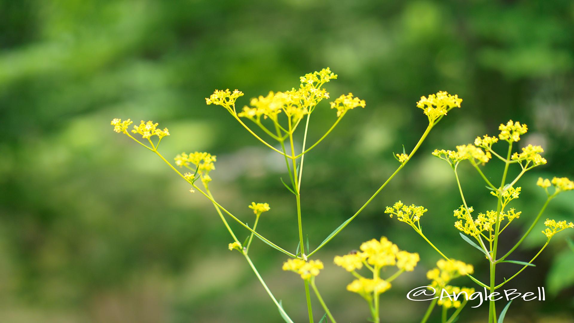 オミナエシ 女郎花 Flower Photo3