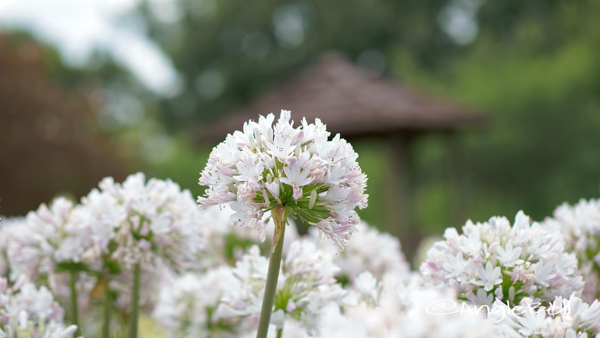 アガパンサス-ガーデンクィーン Flower Photo1