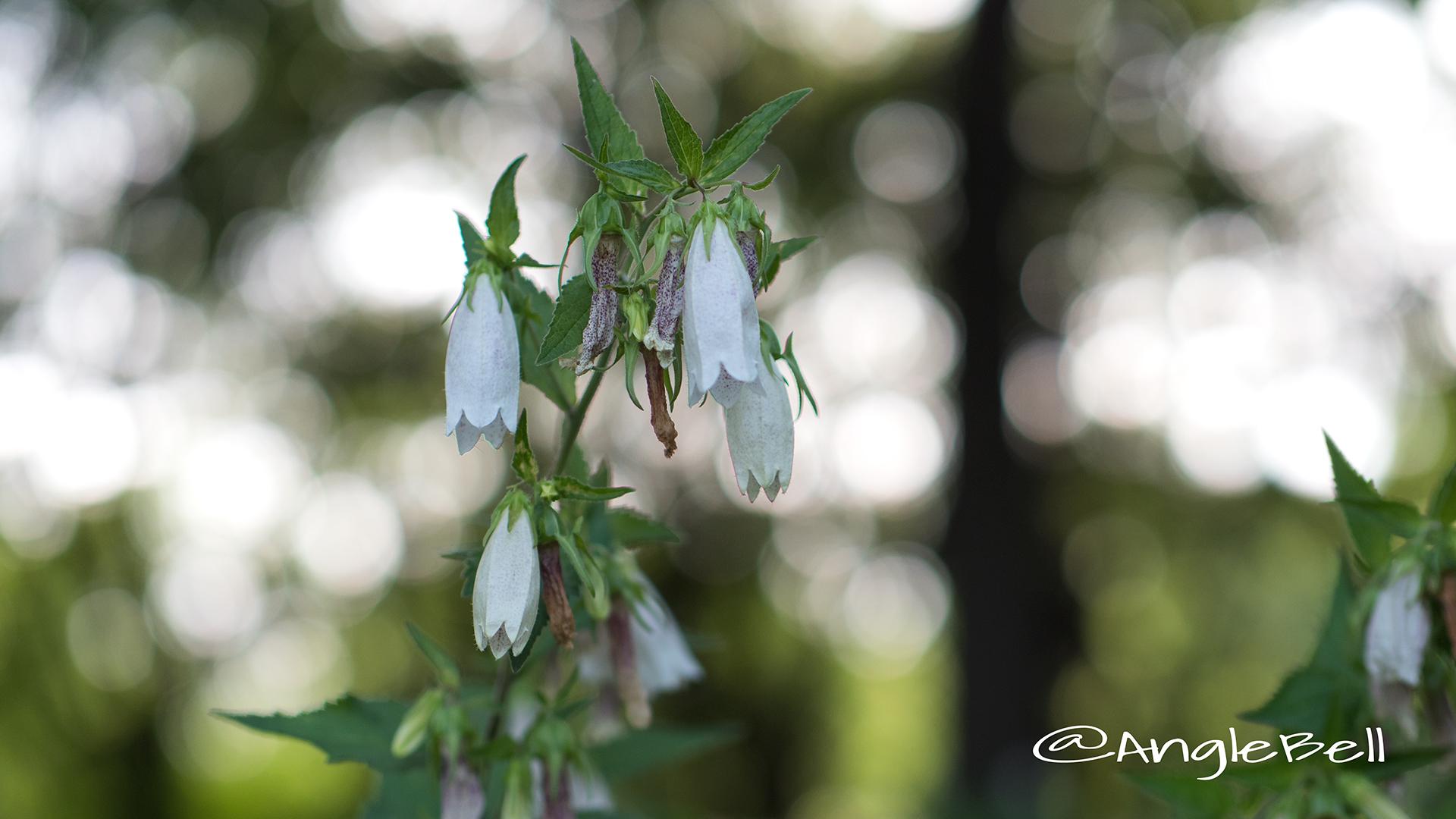 ホタルブクロ 蛍袋 Flower Photo5