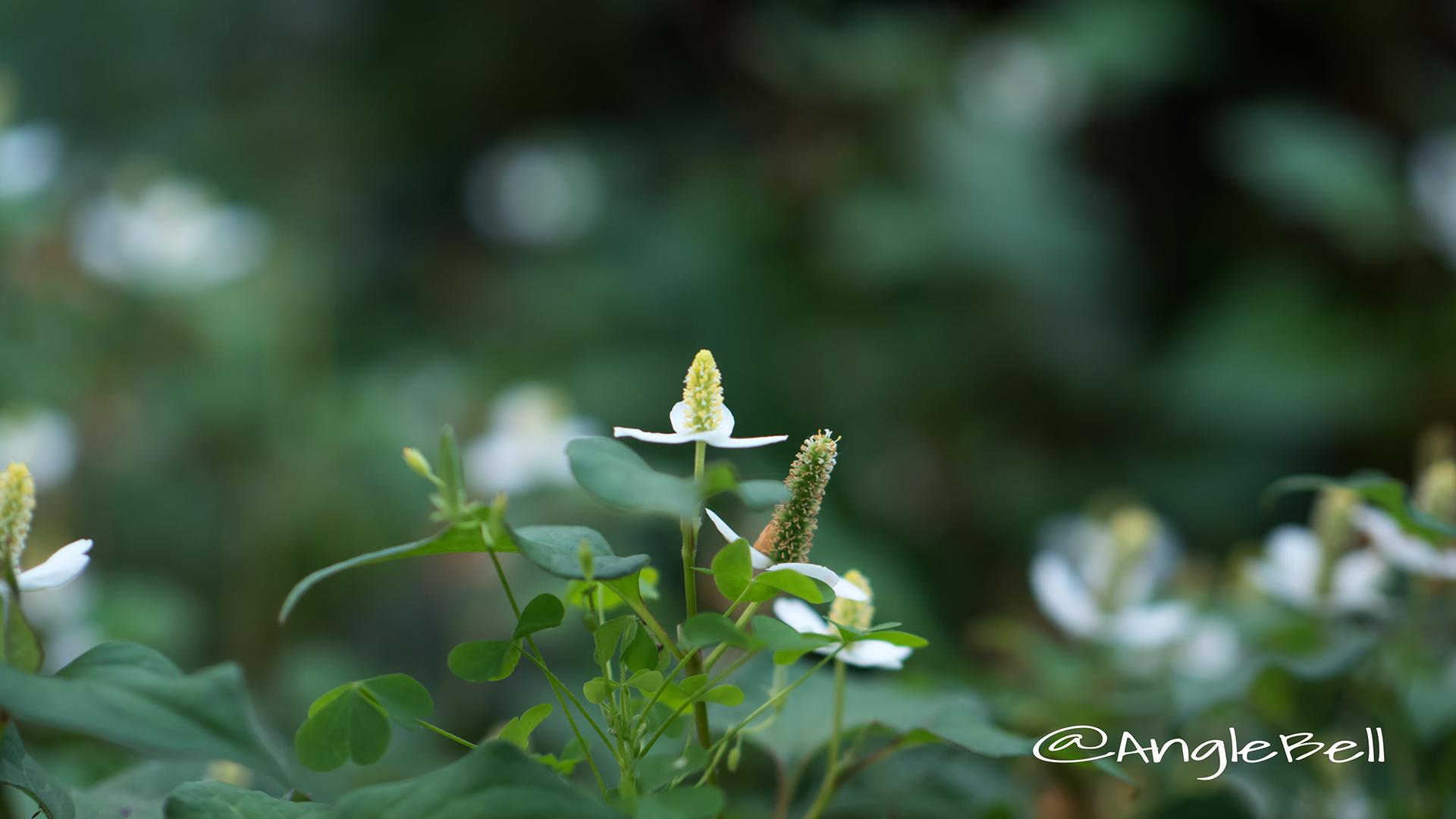 ドクダミ Flower Photo4