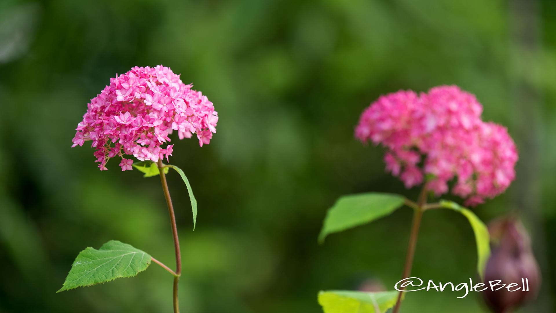 ピンクアナベル Flower Photo2