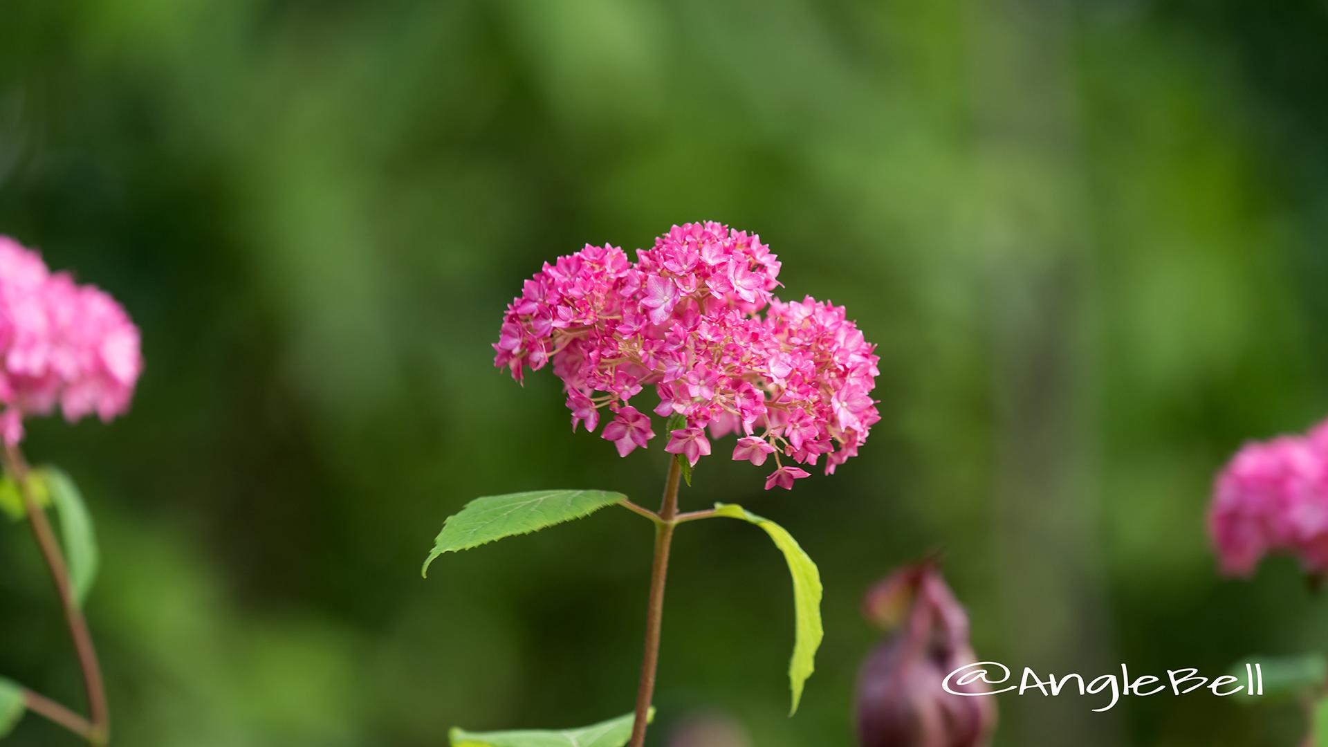ピンクアナベル Flower Photo3
